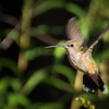 Ruby-throated Hummingbird in flight - female