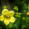 Smooth Yellow False Foxglove