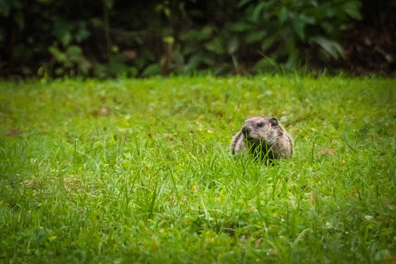 Groundhog acting like he hasn't seen me yet.  Two seconds later he was off to his hole in the ground.