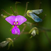 Naked-flower Tick-trefoil
