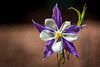 Purple Columbine, aka Rocky Mountain Columbine and Colorado Blue Columbine.  It is the Colorado state flower.