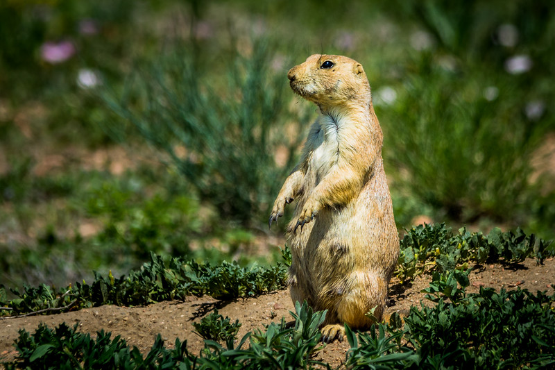 We saw several Prarie Dogs in Colorado Springs