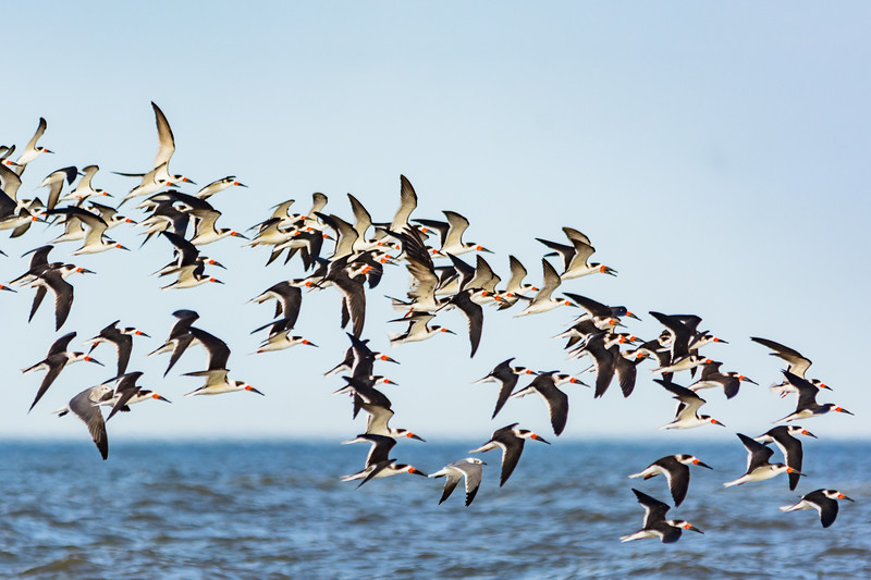 A flock of Black Skimmers head out to feed in the afternoon.