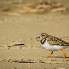 Ruddy Turnstone in non-breeding plumage