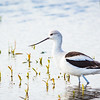 American Avocet in gray winter plumage
