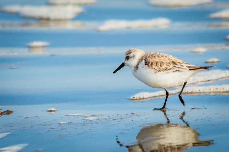 Sanderling looking for tiny beach critters to eat.