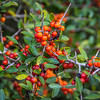 Firethorn bush with red berries