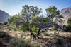 This tree is Mountain Mahogany.  Any bush or tree that grows in the desert is a very tough plant indeed.