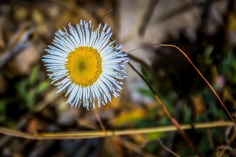 Desert Daisy Fleabane