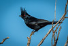 I really like the striking comb and red eye of the Phainopepla.  Please don't ask me to pronounce that name though.