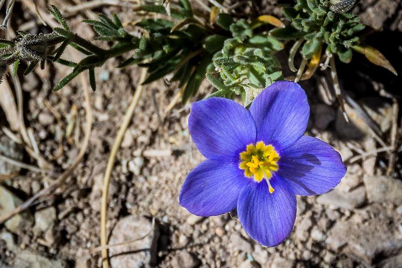 Blue Gilia