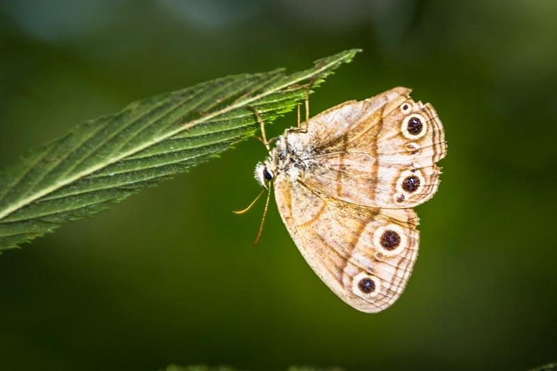 Little Wood-Satyr butterfly