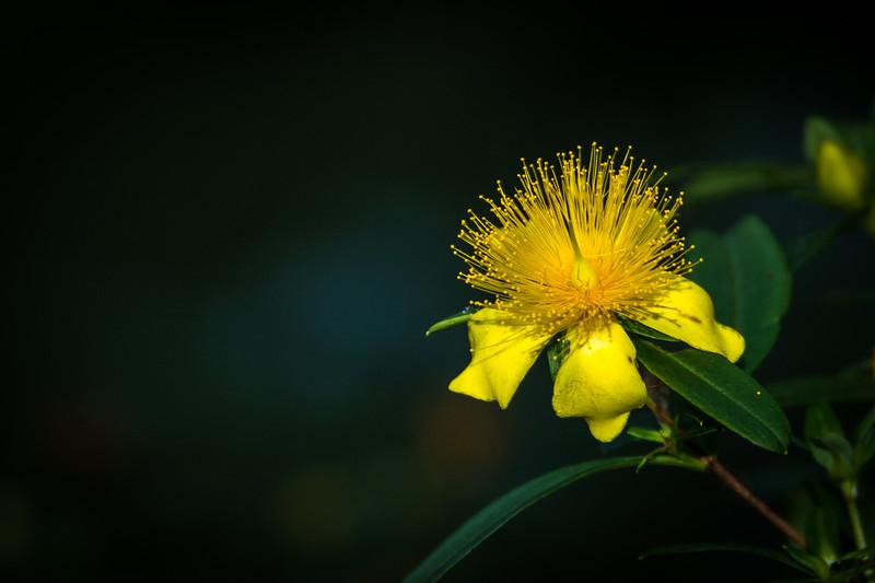 This yellow flowering shrub is St. John's Wort.