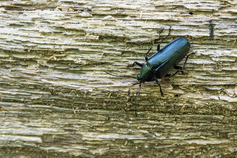 black beetles typically eat and lay their eggs on wood.  In some cases they speed the decay of fallen logs or dead trees.  In others they kill live trees.