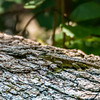 Eastern Fence Lizard with a regenerating tail