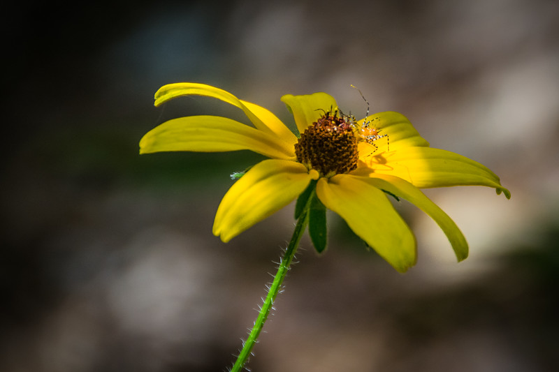 I love this delicate Spitting Spider on the Coneflower.