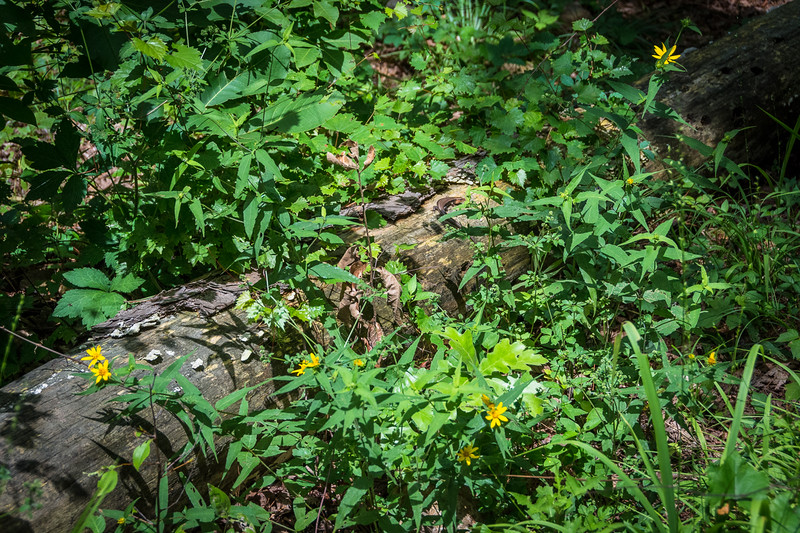 Can you spot the Five-Lined Skink in this photo?