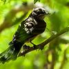 Flycatcher in leaves