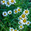 Cluster of Common Daisies