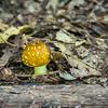 Fly Amanita, yellow variety