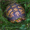 Box turtle with the pink eye, bacterial conjunctivitis