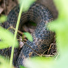 Harmless Northern Watersnake hiding at the edge of the creek