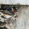 Cliff Swallow building nest