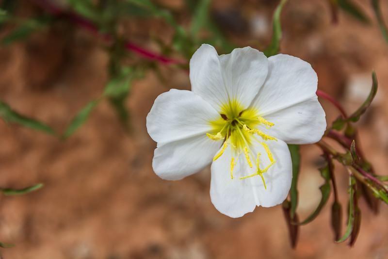 Tufted Evening-primrose - white