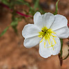 Tufted Evening-primrose - white