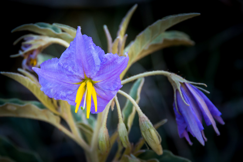 Silverleaf Nightshade is a poisonous noxious weed.  It's still pretty.