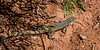 Common Checkered Whiptail Lizard