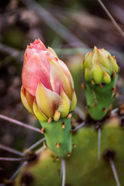 These Prickly Pear Cactus buds are just a day or two away from becoming all they were meant to be.