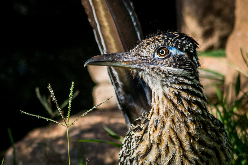 Closeup of the Greater Roadrunner