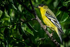 This is the Lesser Goldfinch that is actually very different from the American Goldfinch.