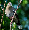 White-winged Dove.  Do you suppose he is listening to hear what we are saying about him?