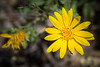 Hairy False Goldenaster