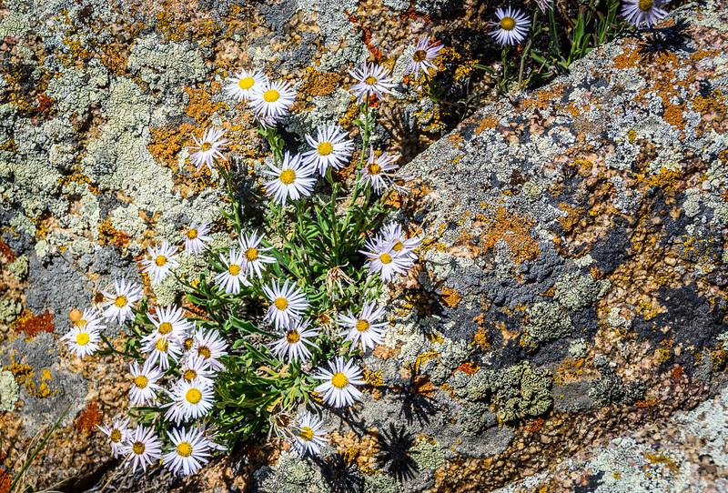 Western Daisy Fleabane between lichen-covered rocks