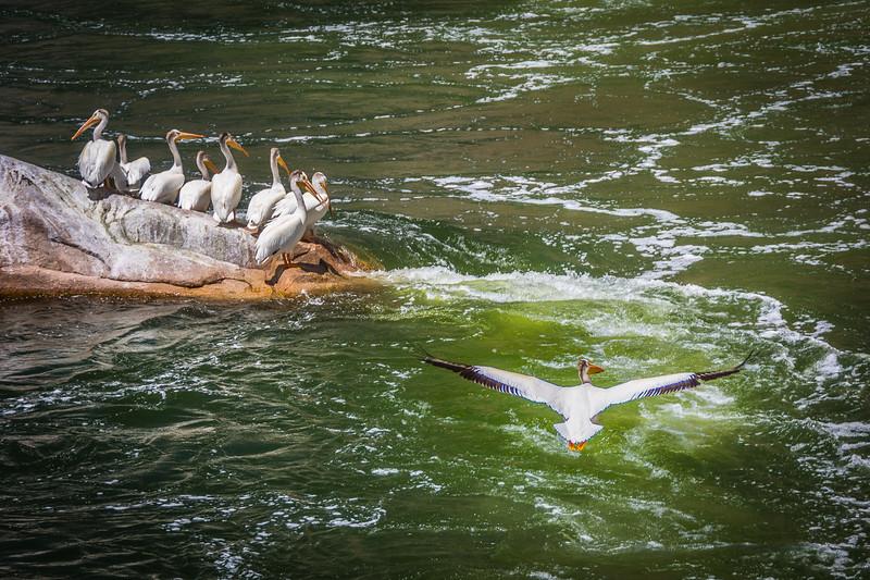 Gregarious birds
