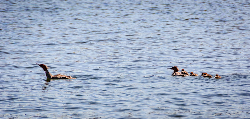 The objective for the next day was exploring Alcova Lake.  One of the baby Eared Grebes is getting a ride on momma's back.