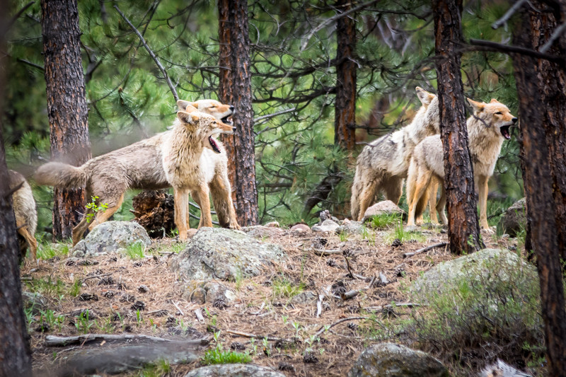 When we first saw the pack of Coyotes they were howling in unison.