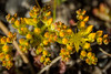 Yellow Stonecrop