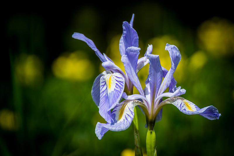 Mountain Iris with Golden Banner in the background
