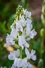 Rocky Mountain White Locoweed