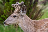 Closeup of Mule Deer Buck with little baby antlers covered in velvet