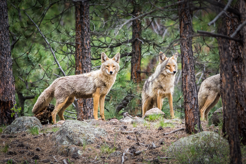 I think this was the leader based on observing them for a while.  Once they got a good look at me they stopped howling and disappeared back into the forest.