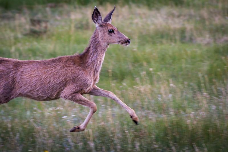 Mule Deer in motion