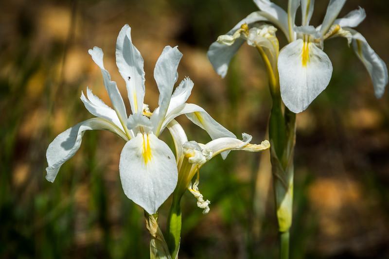 A white version of the Mountain Iris