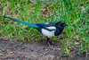 This Black-billed Magpie had a worm and was watching me like I was going to try and take it.