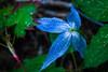 Western Blue Virgin's Bower