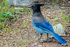 The raucous Stellar Jay being silent for once